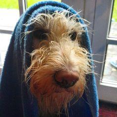 Frauchen, bist du jetzt zufrieden? Emmi mag keinen Regen, aber da müssen wir gemeinsam durch ☔  #regen #labradoodle #schlechteswetter #hund #herzenstier #herbst