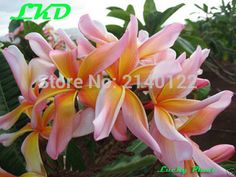 7 to15inch Rooted Plumeria Plant Thailand Rare Real Frangipani Plants no140-leela2 Lucky Plant, Garden Supplies, Roots, Thailand, Succulents, Plants, Gardening Supplies, Succulent Plants, Plant
