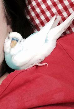 Please \Like\ Chico und seine Freunde on Funny Birds, Cute Birds, Pretty Birds, Beautiful Birds, Budgie Parakeet, Budgies, Parrots, Parakeet Cage, Cute Baby Animals