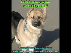 Common Eye  Issue in German Shepherds --- GSD Photos and  Facts