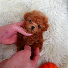 Teacup Poodle Puppies, Micro Teacup Puppies, Tea Cup Poodle, Teacup Puppy Breeds, Teacup Poodles For Sale, Teddy Bear Poodle, Mini Poodle Puppy, Miniature Puppies, Cute Baby Puppies