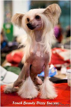 Pedigree database Chinese Crested dog