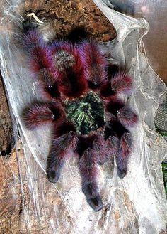 Antilles Pinktoe... gorgeous spider!