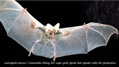 Vulnerable listing for Cape York ghost bat sparks calls for protection