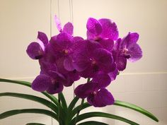 Vanda Magic Blue Orchids, Magic, Plants, Blue, Plant, Planets, Orchid