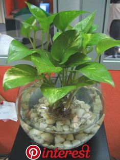 Devil's Ivy in fish bowl. Maybe not in a fishbowl, but I like the idea of a condensed plant. Devil's Ivy in fish bowl. Maybe not in a fishbowl, but I like the idea of a condensed plant. Plants Grown In Water, Water Plants Indoor, Aquatic Plants, Indoor Garden, Outdoor Gardens, Ivy Plant Indoor, Inside Plants, Ivy Plants, Hydroponic Plants