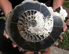 Pyrite ammonite, Russia