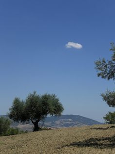 Five things the olive oil multinationals don't want you to know. Click through to read more #TerraAdopt #adoptanolivetree
