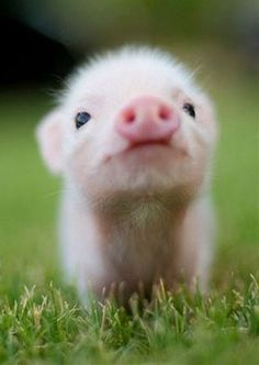 Im not ganna lie, I think baby pigs are very cute. scottthemasterb Im not ganna lie, I think baby pigs are very cute. Im not ganna lie, I think baby pigs are very cute. Cute Baby Animals, Funny Animals, Wild Animals, Animal Babies, Farm Animals, Cute Baby Pigs, Cute Small Animals, Spring Animals, Cut Animals