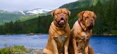 Dogue De Bordeaux Dogs - Definitive Guide to Dogue De Bordeauxs