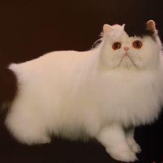 Danelle German rocks the Cat Grooming World!