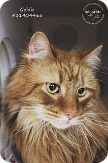 Philadelphia Pa Norwegian Forest Cat Meet Asland A Cat For