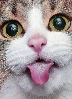 Crazy Cats, Big Cats, Cats And Kittens, Cute Cats, Funny Cats, Funny Animals, Cute Animals, Funny Cat Pictures, Animal Pictures