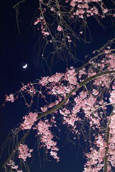 仙川の桜並木の紅しだれ