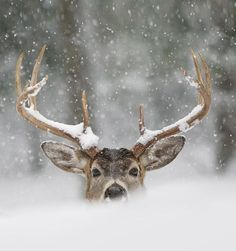 Peeking winter whitetail. #Deer #Snow