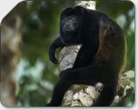 Where does the money go ?Howler Monkey surveys the scene Costa Rica