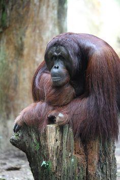 Orangutan by marboed, via Flickr