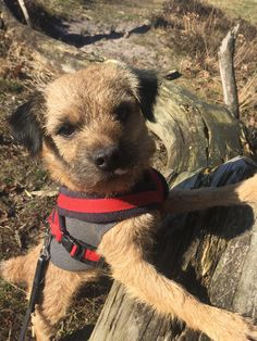 Border terrier Eddie acting like a cool guy