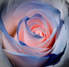 Light Pink rose with blue edging