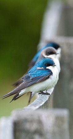 blue birds....