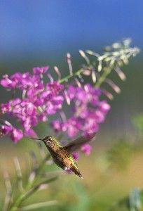 Female Hummingbird - $0.00