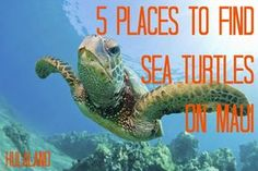 Maui has some of the world's best snorkeling, especially with the Hawaiian Green Sea Turtles. Here are five places to spot sea turtles on Maui.