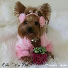 Facts On The Feisty Yorkshire Terrier Puppies Exercise Needs - Doggies - Hunde Toy Puppies, Cute Puppies, Cute Dogs, Yorkshire Terrier Haircut, Yorkshire Terrier Puppies, Yorshire Terrier, Yorky, Yorkie Puppy, Chihuahua