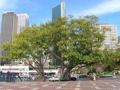 Bonsai Ficus, First Fleet, Ficus Elastica, Multi Story Building, Street View, The Originals