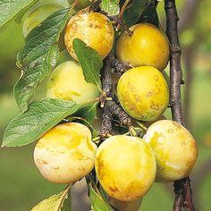 Gage Tree - Reine Claude Doree - Fruit - Gardening - Suttons Seeds and Plants