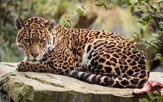 Animal Jaguar, Jaguar Tier, Rainforest Animals, Dangerous Animals, Mundo Animal, Animal Wallpaper, Cute Funny Animals, Pictures To Draw, Big Cats