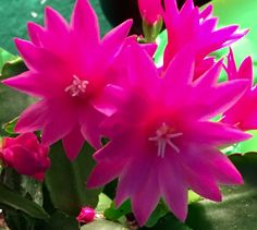 An Easter Cactus