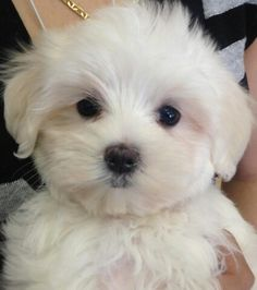 Sophie the Maltese a lot of personality in a little package. Teacup Puppies, Cute Puppies, Cute Dogs, Dogs And Puppies, Doggies, Teacup Maltese, Animals And Pets, Baby Animals, Cute Animals