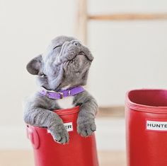 Bleu the French Bulldog...Makes me want a new puppy!