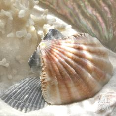 Coral Shell III Art Print by Donna Geissler at Art.com