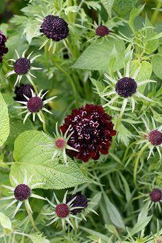 Scabiosa atropurpurea 'Black' ('Ace of Spades'). Not a true black, but a deep red.