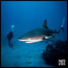 Caribbean Reef Shark by Sofia Monteiro, via 500px