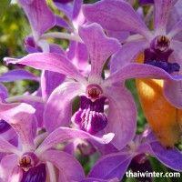 Thailand_Orchids_01
