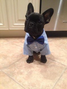 Frenchie in a bow tie!