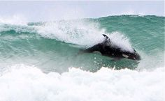 Surfing killer whales in New Zealand
