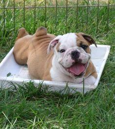 Gahhhh hurry up November!!! Purebred British bulldog <3