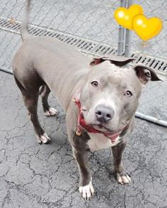 SAFE 11-29-2015 --- Manhattan Center OCEAN – A1058169 **SAFER: AVERAGE HOME** FEMALE, GRAY / WHITE, AMERICAN STAFF MIX, 1 yr OWNER SUR – EVALUATE, NO HOLD Reason LLORDNYCHA Intake condition EXAM REQ Intake Date 11/17/2015 http://nycdogs.urgentpodr.org/ocean-a1058169/