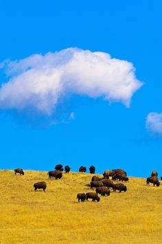 American Bison, Custer State Park, Black Hills, South Dakota