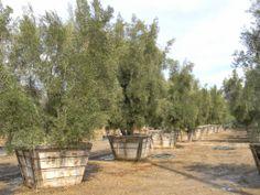 Majestic Beauty Fruitless Olive Trees