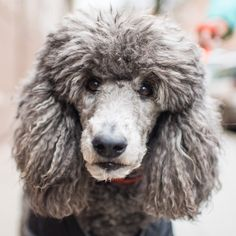 Plum, Standard Poodle (10 y/o), W 10th & Waverly Pl, New York, NY