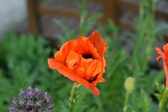 Garden, Poppy, Blossom, Bloom, Red, Garden #garden, #poppy, #blossom, #bloom, #red, #garden