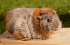 Caramel the Guinea Pig