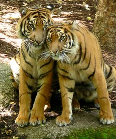 Mr and Mrs Tiger