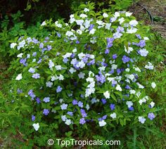 Brunfelsia australis, Brunfelsia bonodora, Brunfelsia latifolia, Yesterday-Today-and-Tomorrow