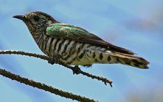 Shining cuckoo | New Zealand Birds Online
