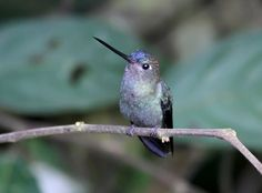 Blue-Fronted Lancebill (young male) - Doryfera johannae - The range of this species of hummingbird of the family Trochilidae is from Brazil, Colombia, Ecuador, Guyana, Peru and Venezuela. Tropical or subtropical moist lowland forests and tropical or subtropical moist montane forests are its natural habitats - Image : © Roger Ahlman July 10, 2011